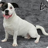 Adopt A Pet :: Brody - Houston, MO