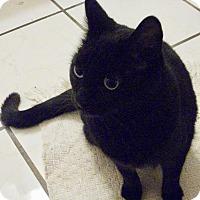 Adopt A Pet :: Charlestina - DECLAWED - Colmar, PA