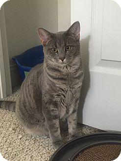 Domestic Shorthair Cat for adoption in Parkton, North Carolina - Anne