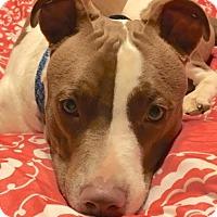 Adopt A Pet :: Charlie Brown - Leesburg, VA