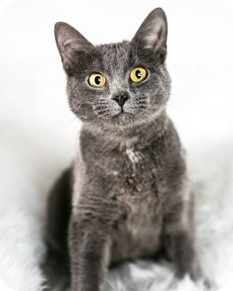 Domestic Shorthair Cat for adoption in Eagan, Minnesota - Penny
