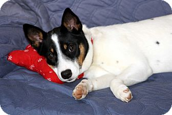 rat terrier australian cattle dog mix pet not found 9062