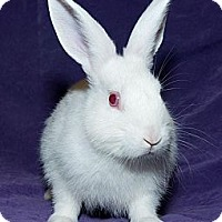 Adopt A Pet :: Snowball - Los Angeles, CA