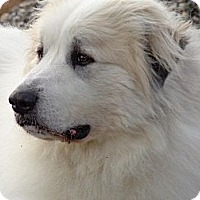 Great Pyrenees Dog for adoption in Lee, Massachusetts - Jazper - NY