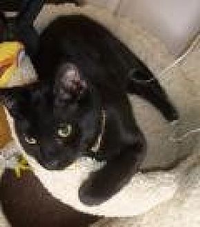 Bombay Cat for adoption in Mission Viejo, California - Dotty and Beyonce