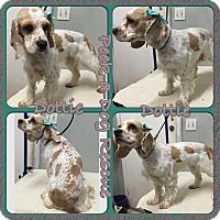 Adopt A Pet :: Dotty - South Gate, CA