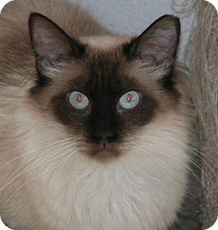 Siamese Cat for adoption in Colorado Springs, Colorado - Sylvia