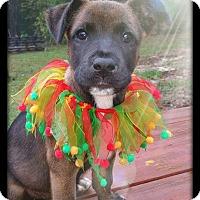 Adopt A Pet :: Muffin meet me 11/14 - East Hartford, CT