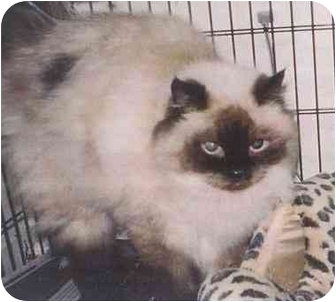 Himalayan Cat for adoption in Germantown, Maryland - LADY GODIVA