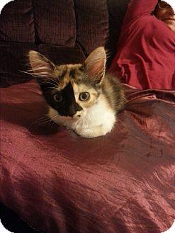 Calico Kitten for adoption in Monrovia, California - Luna