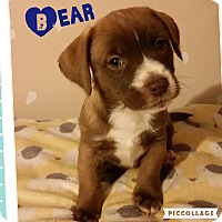 Adopt A Pet :: Bear - Brea, CA