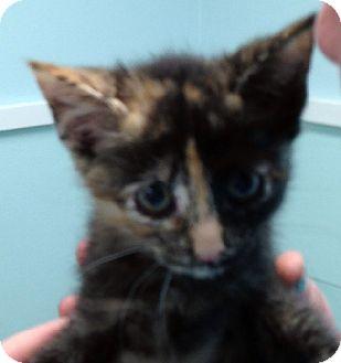 Domestic Shorthair Kitten for adoption in Putnam Hall, Florida - MERIDA