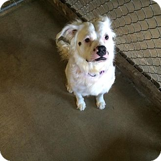 American Bulldog/Australian Shepherd Mix Dog for adoption in Salem, Ohio - patches