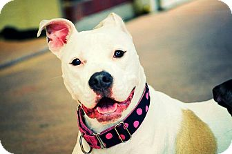 American Bulldog/American Staffordshire Terrier Mix Dog for adoption in Tomball, Texas - Angel