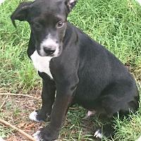 Labrador Retriever Mix Puppy for adoption in Hagerstown, Maryland - Tatianna