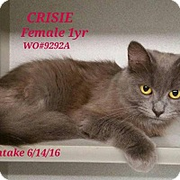 Domestic Shorthair Cat for adoption in Fayetteville, West Virginia - Crisie