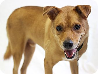 Labrador Retriever/Shepherd (Unknown Type) Mix Dog for adoption in Bradenton, Florida - Winston