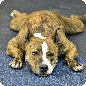 American Staffordshire Terrier Mix Dog for adoption in Cranston, Rhode Island - Amelia