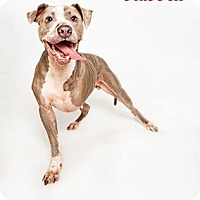 American Staffordshire Terrier/Hound (Unknown Type) Mix Dog for adoption in Conroe, Texas - BlueBell