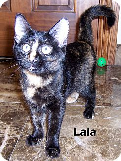 Domestic Shorthair Kitten for adoption in Oklahoma City, Oklahoma - Lala