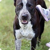 Pit Bull Terrier/Australian Cattle Dog Mix Dog for adoption in McAllen, Texas - Tigressa