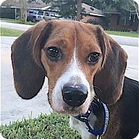 Adopt A Pet :: Timber - Houston, TX