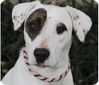 American Pit Bull Terrier Mix Dog for adoption in Red Bluff, California - BELLA-low fees/spayed