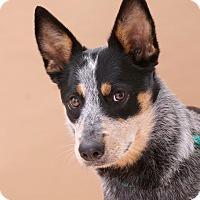 Adopt A Pet :: Diamond - Sudbury, MA