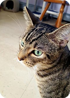 Domestic Shorthair Cat for adoption in Salisbury, Massachusetts - Gumbo