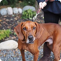 Coonhound Mix Dog for adoption in Whitehall, Pennsylvania - Billy Bob