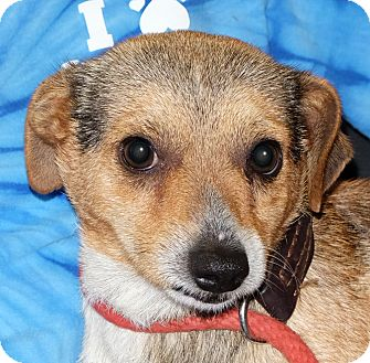 Beagle Mix Dog for adoption in Spokane, Washington - Brown Sugar