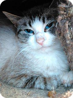 Siamese Cat for adoption in Cloquet, Minnesota - Bella
