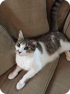 Domestic Shorthair Cat for adoption in Plainville, Massachusetts - Lola Mom