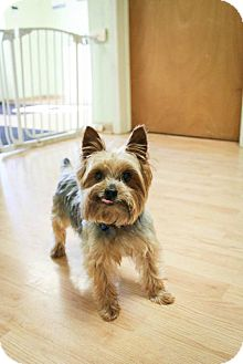 Yorkie, Yorkshire Terrier Dog for adoption in Rochester, New York - Marshall