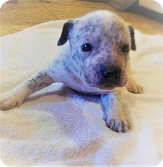 Australian Cattle Dog/Pit Bull Terrier Mix Puppy for adoption in Wichita Falls, Texas - Sassy