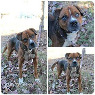 Boxer/German Shepherd Dog Mix Dog for adoption in Winston-Salem, North Carolina - Bishop