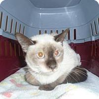 Siamese Cat for adoption in THORNHILL, Ontario - Mirage