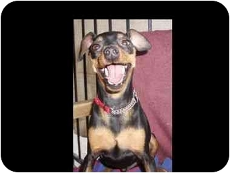 Miniature Pinscher Dog for adoption in Phoenix, Arizona - Alfonzo