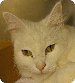Domestic Mediumhair Cat for adoption in El Cajon, California - Princess