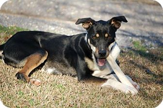 German Shepherd Dog Mix Dog for adoption in Birmingham, Alabama - Olivia