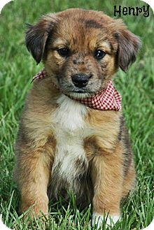 Catahoula Mix Shepherd Dog Breed http://www.adoptapet.com/pet/8912448-glastonbury-connecticut-australian-shepherd-mix