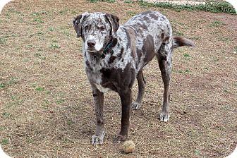 ...   1482   Homewood, AL   Labrador Retriever/Catahoula Leopard Dog Mix