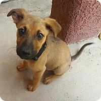 Adopt A Pet :: Ivy *ADOPTION PENDING* - Las Vegas, NV