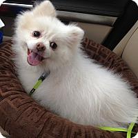 Adopt A Pet :: Snow - Alpharetta, GA