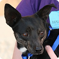 Terrier (Unknown Type, Small)/Chihuahua Mix Dog for adoption in Palmdale, California - Hank