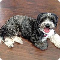 Adopt A Pet :: La La La Lady - Los Angeles, CA