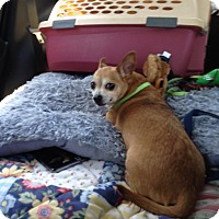 Chihuahua Dog for adoption in Wrightsville, Pennsylvania - Leornardo De Vinci
