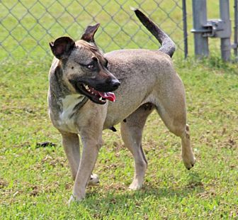 Akita Mix Dog for adoption in Savannah, Tennessee - Keri