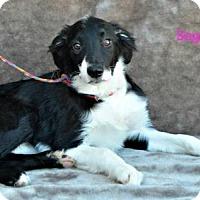 Adopt A Pet :: Sage - Yreka, CA