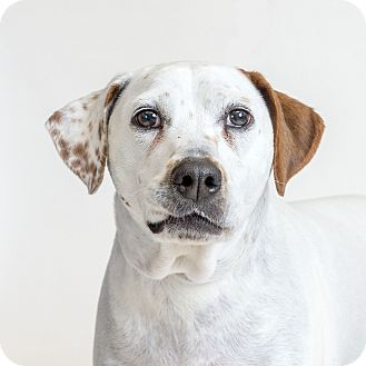 Hound (Unknown Type) Mix Dog for adoption in Naperville, Illinois - Shiloh